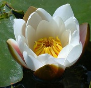 Кувшинка ,  водные растения